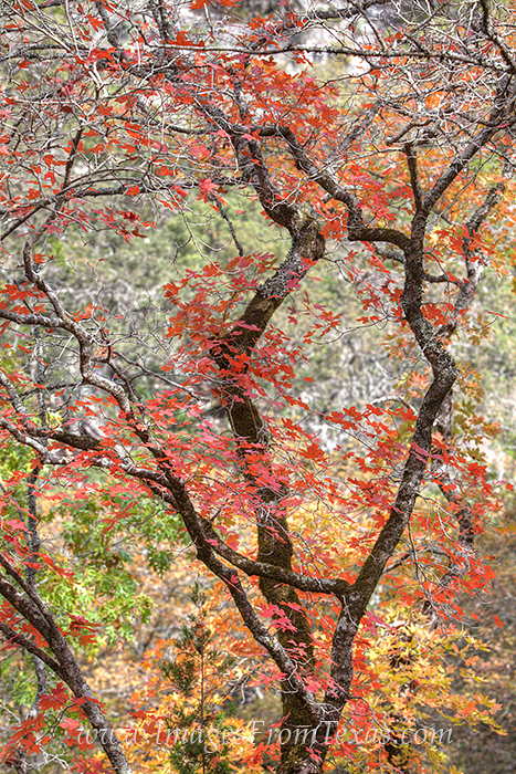 lost maples,texas hill country,hill country prints,bigtooth maple,texas, photo