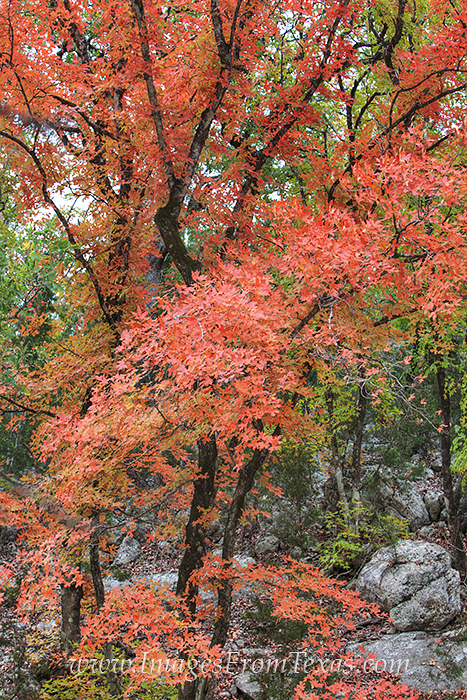 Lost Maples,Lost Maples State Park,Hill Country,Bigtooth maple,fall colors,Texas, photo