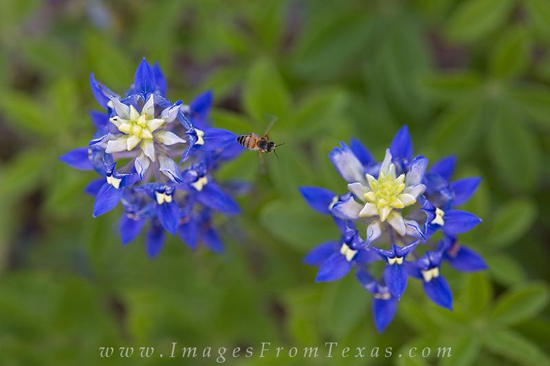 bluebonnet pictures,texas bluebonnets,texas wildflowers,bees,texas springtime, photo