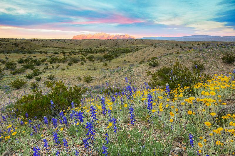 bluebonnets,big bend national park,big bend bluebonnets,texas landscapes, photo