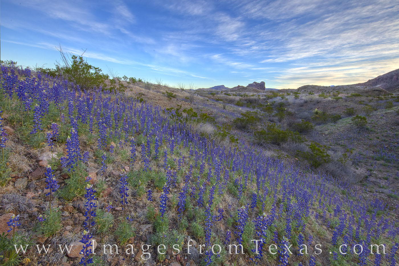 Big bend bluebonnets, bluebonnets, big bend, big bend national park, Texas national park, cerro castellan, ross Maxwell, sunrise, west Texas, Texas wildflowers, spring, February, 2019, blue, chihuahua, photo