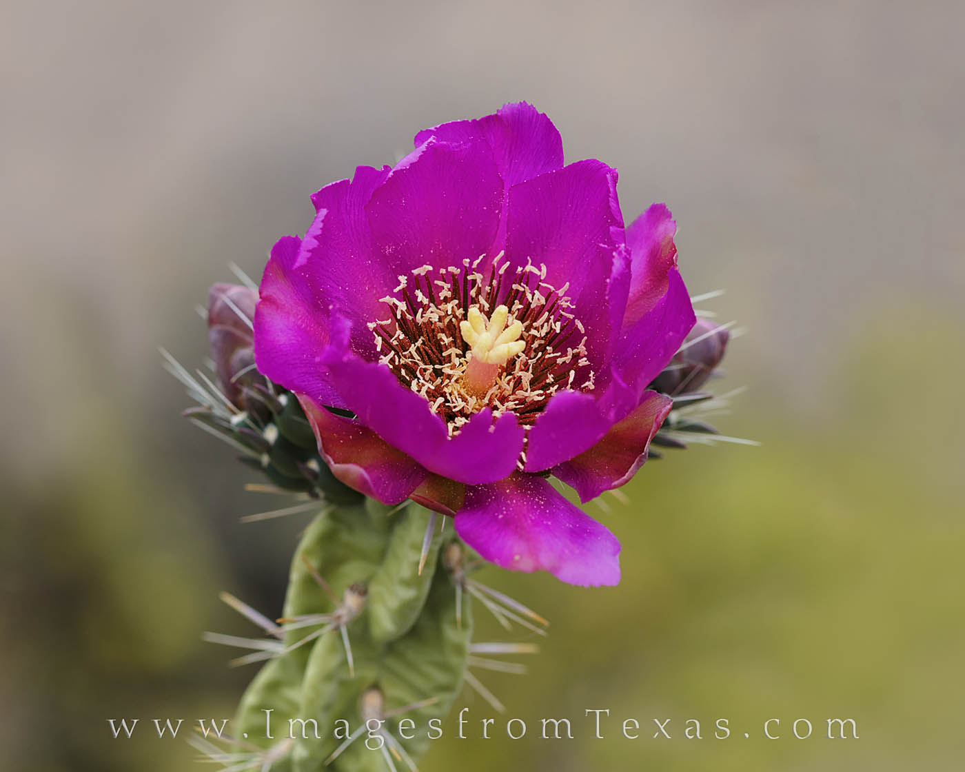 In the Big Bend, a Cholla cactus blooms on a Spring day. Cacti such as this can often bring amazing colors to this desert landscape...