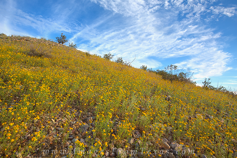 texas wildflowers,big bend wildflowers,big bend national park,big bend prints,texas landscapes, photo