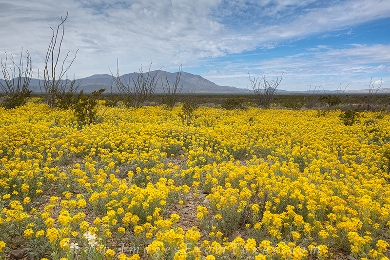 texas wildflowers,big bend national park,big bend wildflowers,texas landscapes, photo