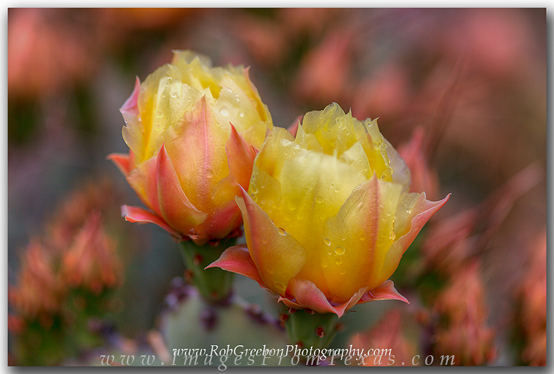 big bend wildflowers,big bend national park,texas wildflowers,prickly pear cacti,prickly pear blooms,texas images, photo