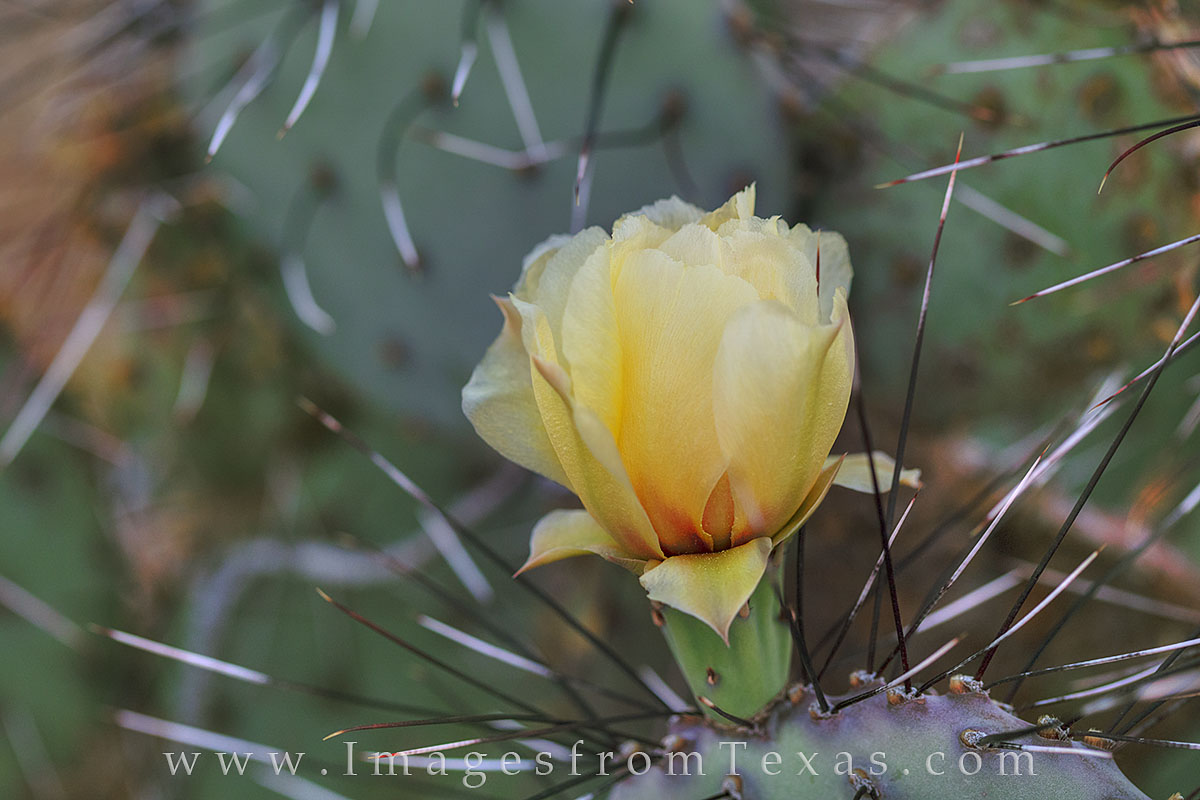 prickly pear cactus, big bend national park, big bend, chisos mountains, texas wildflowers, photo