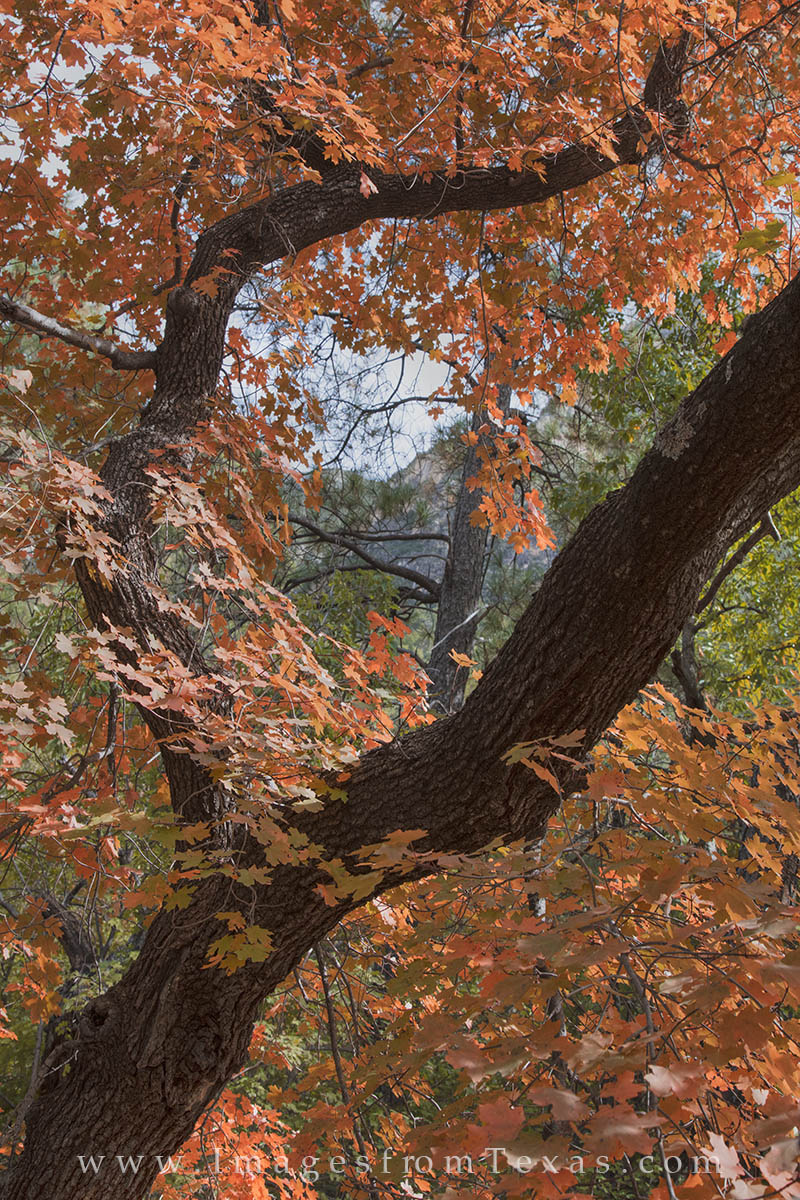 guadalupe mountains, mckittrick canyon, bigtooth maples, fall in texas, autumn colors, fall colors, west texas images, guadalupe mountains national park, texas national parks, photo