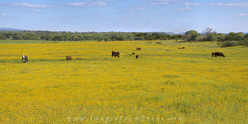 texas wildflowers,gold wildflowers,texas hill country,texas landscapes,bitterweed, photo