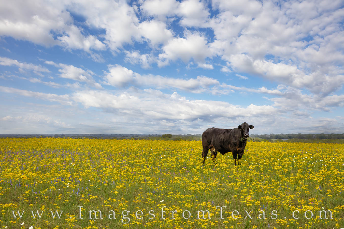 A lonely cow looks at me looking at him amid a field of yellow groundsel. These wildflower covered this field. I loved the contrast...