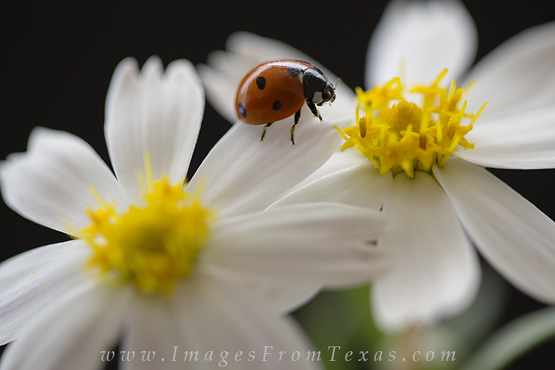 texas wildflower pictures,ladybug pictures,blackfoot daisies, photo