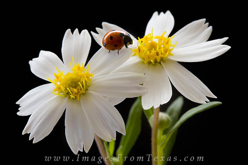 texas wildflowers,blackfoot daisy,ladybug,wildflower images, photo