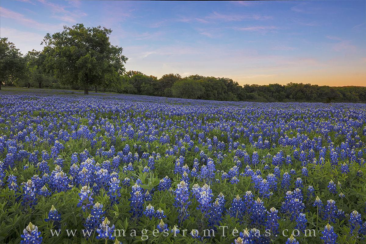 bluebonnet images, bluebonnet prints, texas hill country, texas wildflowers, texas wildflower images, texas hill country prints, texas landscapes, blue, photo