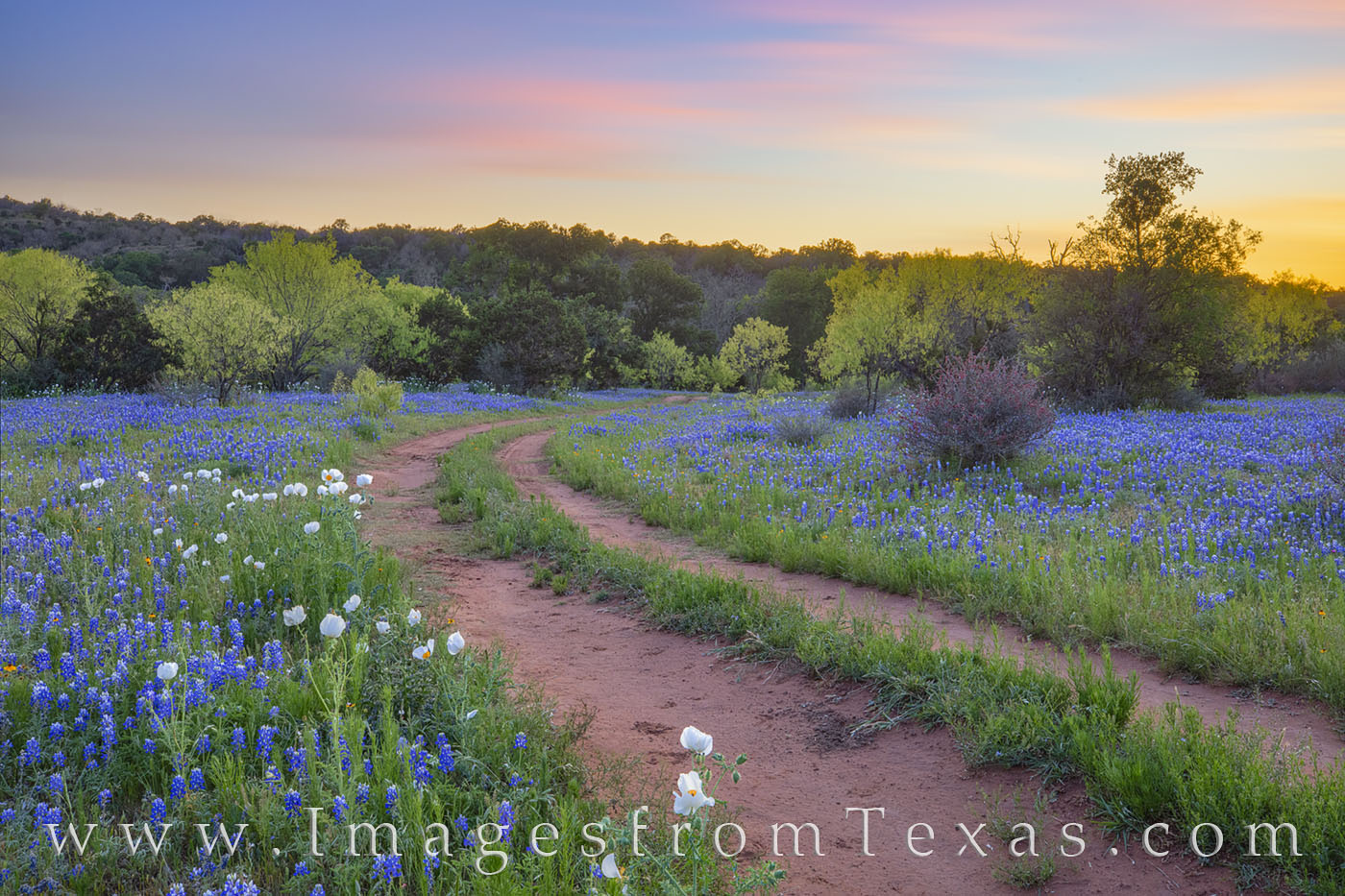Bluebonnets, wildflowers, white poppies, white prickly poppies, tracks, dirt road, backroads, hill country, rural, quiet, sunset, photo