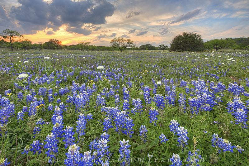 bluebonnets,sunset,texas hill country,bluebonnet photos,texas wildflowers,mason texas, photo