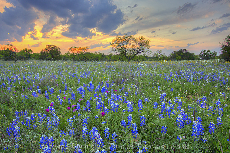 texas wildflowers,texas wildflower photos,bluebonnet photos,texas hill country,texas landscapes, photo