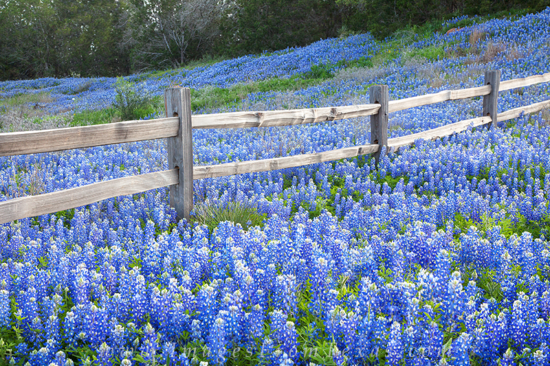 Along Highway 29 in the Hill Country, this old wooden fence often is surrounded by bluebonnets. In the spring of 2012, this was...