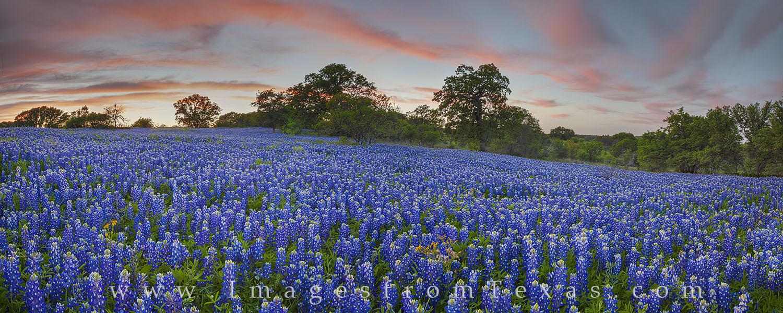 bluebonnets, bluebonnet images, bluebonnet panorama, texas bluebonnets, texas wildflowers, texas hill country, hill country photos, photo
