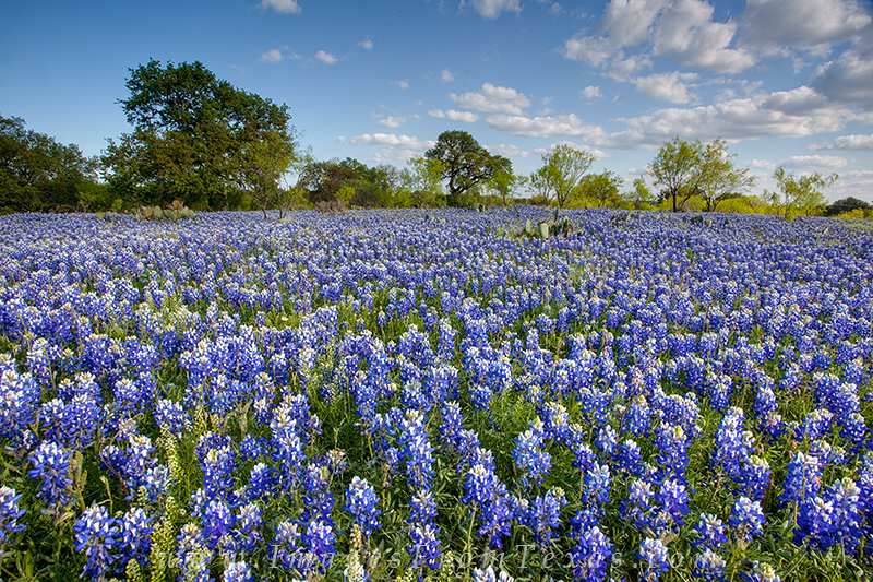 Just south of Mason, Texas, along a dirt road, this field of bluebonnets stretched to the tree line in the distance. I've seen...