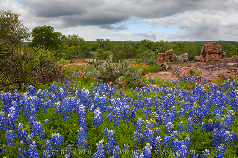 bluebonnets,paintbrush,texas wildflowers,texas bluebonnets,bluebonnet photos,wildflower prints,bluebonnet prints, photo