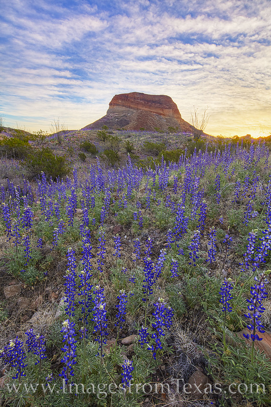 bluebonnets, wildflowers, texas flowers, big bend national park, cerro castellan, chihuahuan desert, chisos mountains, morning, sunrise, desert, bloom, photo