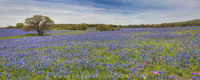 bluebonnets,bluebonnet panorama,texas bluebonnets,bluebonnet images,texas wildflowers,wildflower photos, photo