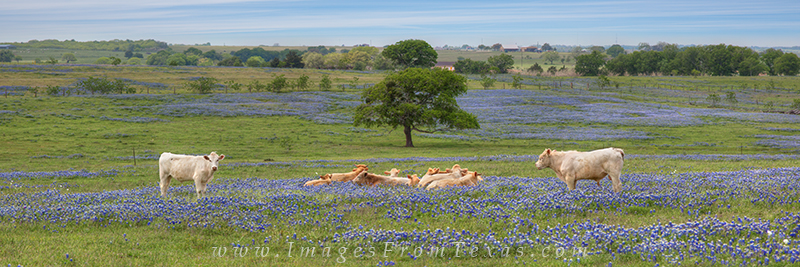 bluebonnet panorama,cows in bluebonnets,bluebonnet prints,texas bluebonnets,wildflowers, photo