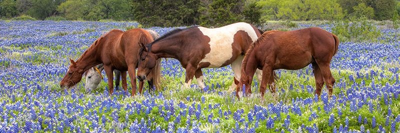 bluebonnet images,horses,horse in bluebonnets,bluebonnet panorama,texas wildflower images,texas wildflowers,marble falls,texas hill country, photo