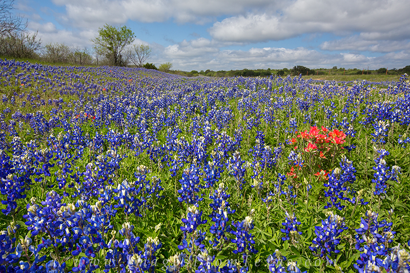 texas wildflower photos,texas wildflowers,texas hill country bluebonnets,bluebonnet images,bluebonnet prints, photo