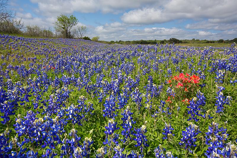 texas wildflower photos,texas wildflowers,texas hill country bluebonnets,bluebonnet images,bluebonnet prints, photo