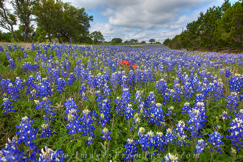 bluebonnet prints,texas bluebonnets,texas wildflower photos,bluebonnets,wildflowers,texas hill country, photo