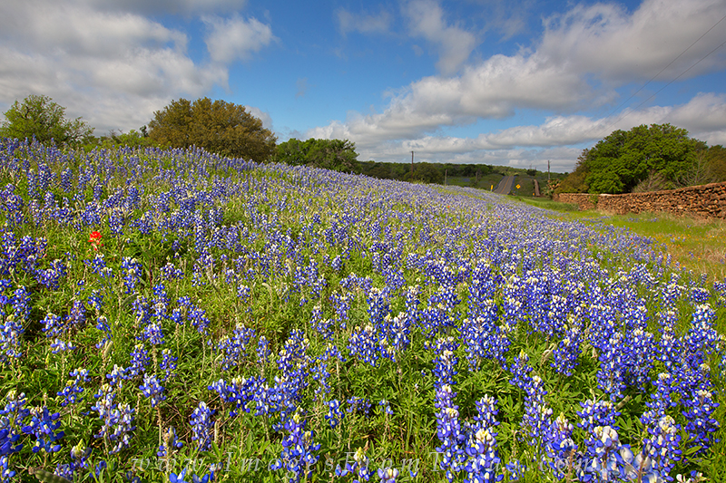 bluebonnet images,bluebonnets,texas wildflowers, photo