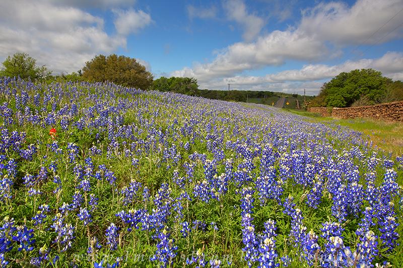 bluebonnet images,bluebonnets,texas wildflowers, photo