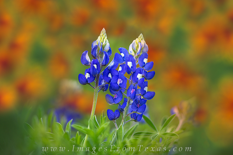 bluebonnet images,texas hill country wildflowers,bluebonnets, photo