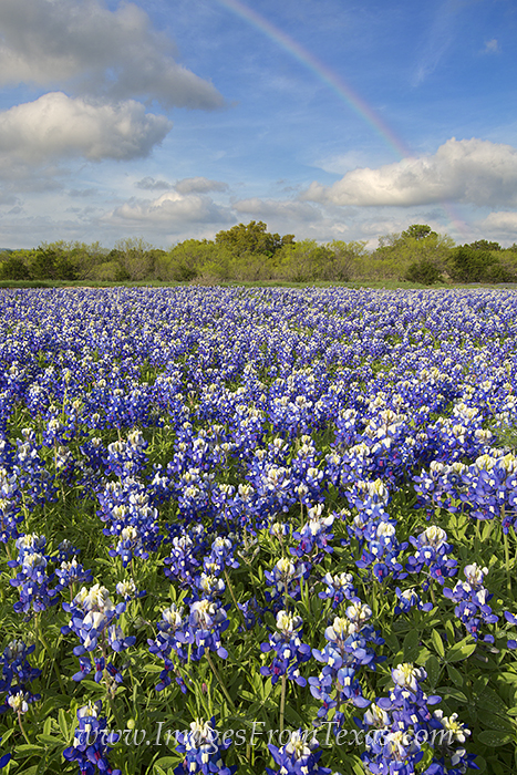 bluebonnet prints,bluebonnet photos,texas wildflowers,texas hill country,rainbows, photo