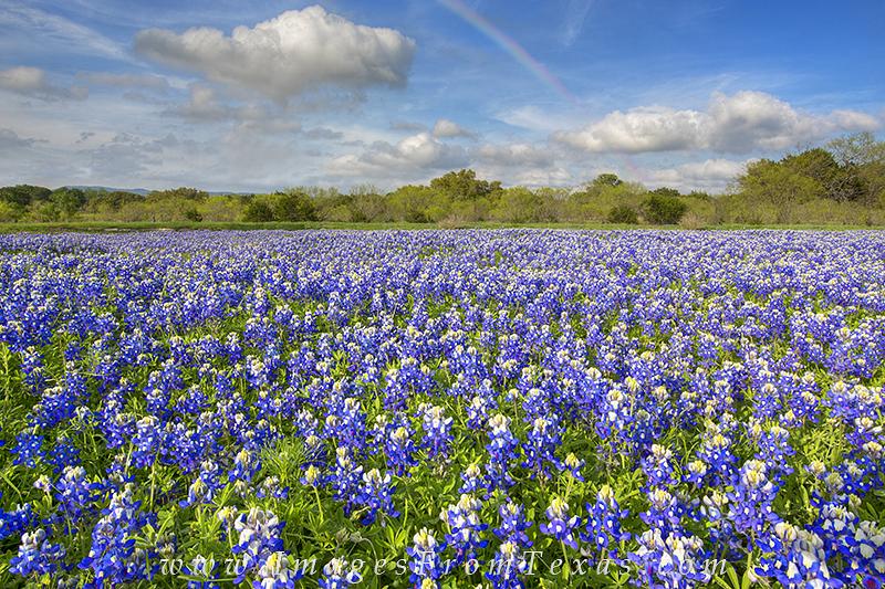 bluebonnet photos,bluebonnet prints,rainbow,texas wildflower photos,texas wildflowers,texas landscapes, photo