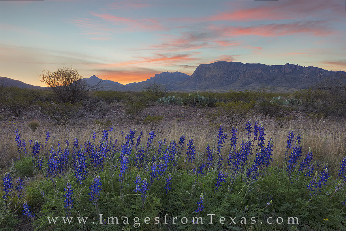 bluebonnets, texas wildflowers, big bend national park, chisos mountains, texas landscapes, texas national park, lupines, wildflowers, sunrise