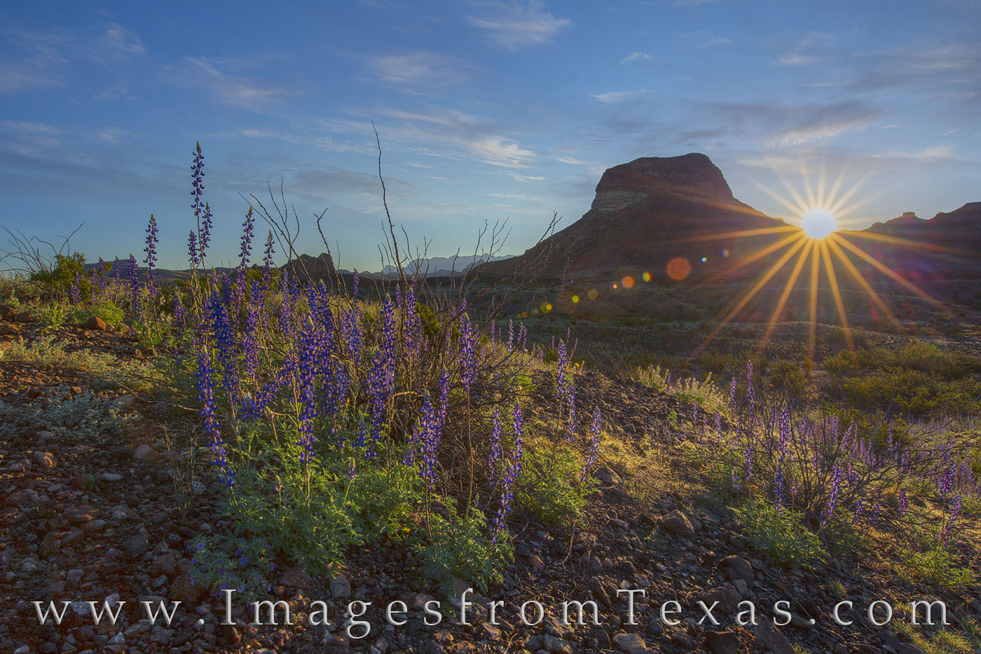 bluebonnets, big bend, big bend bluebonnets, sunrise, big bend national park, landscapes, texas landscapes, texas sunrise, chisos, chisos mountains, desert, chihuahuan desert, remote, photo