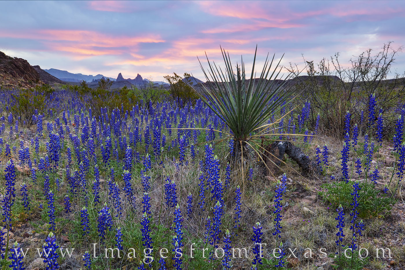 bluebonnets, big bend, mule ears, chisos mountains, wildflowers, morning, desert bloom, superbloom, west texas, photo