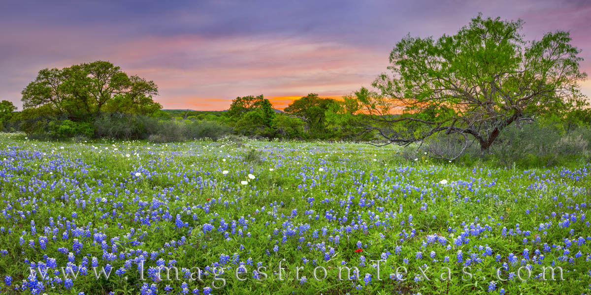 bluebonnets, wildfloweres, panorama sunset, hill country, bluebonnet prints, mason, photo