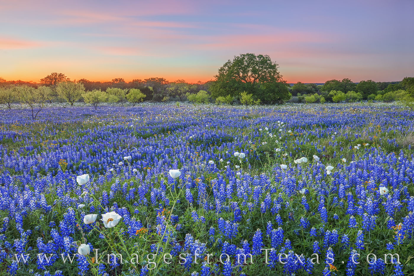 Bluebonnets, wildflowers, poppies, prickly poppies, sunset, evening, pastel colors, backroads, rural, dirt road, focus stacking