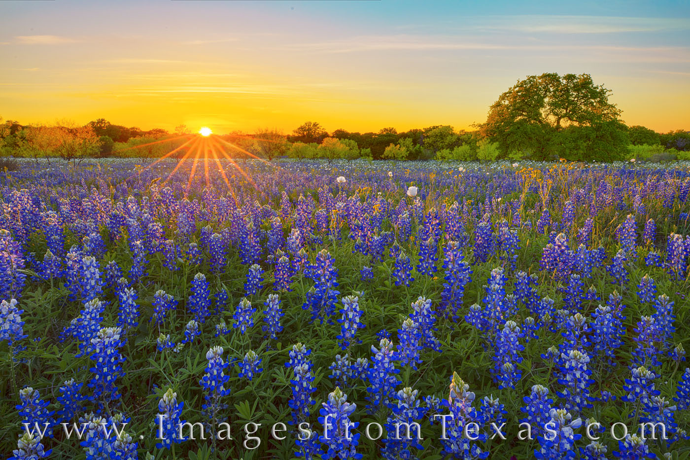 bluebonnets, sunset, hill country, oak tree, wildflowers, poppies, white poppies, rural, quiet, solitude, photo