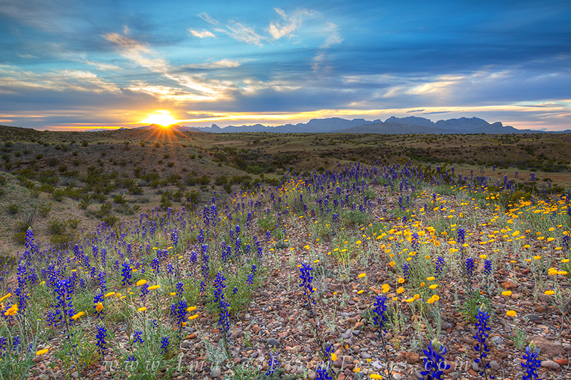 bluebonnets,Big Bend National Park,Texas landscapes,texas images,texas wildflowers,bluebonnet prints,big bend images, photo