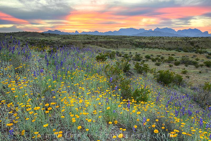 bluebonnet images,Big Bend images,big bend prints,big bend bluebonnets,bluebonnets,texas wildflowers,chisos mountain images, photo