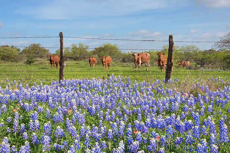 One longhorn and a herd of cattle watched me closely as I composed a few images of these Hill Country bluebonnets sprinkled with...