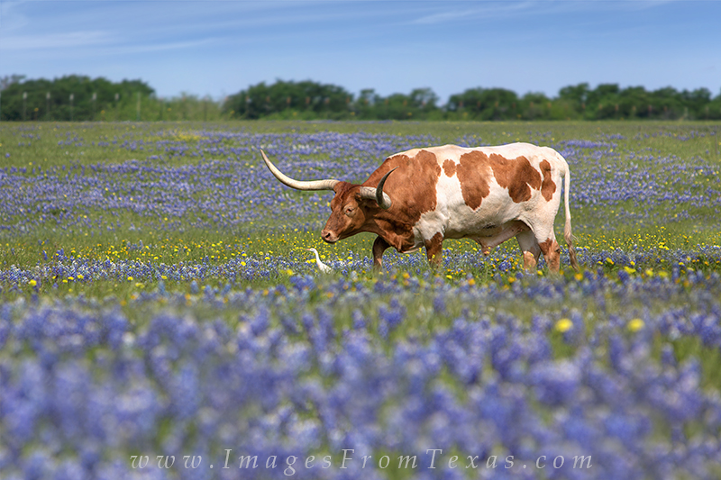 Bluebonnet images,Bluebonnet pictures,Texas Wildflower images,Texas Wildflower pictures,texas Wild flowers,longhorns and bluebonnets,longhorns in bluebonnets,rob greebon, photo