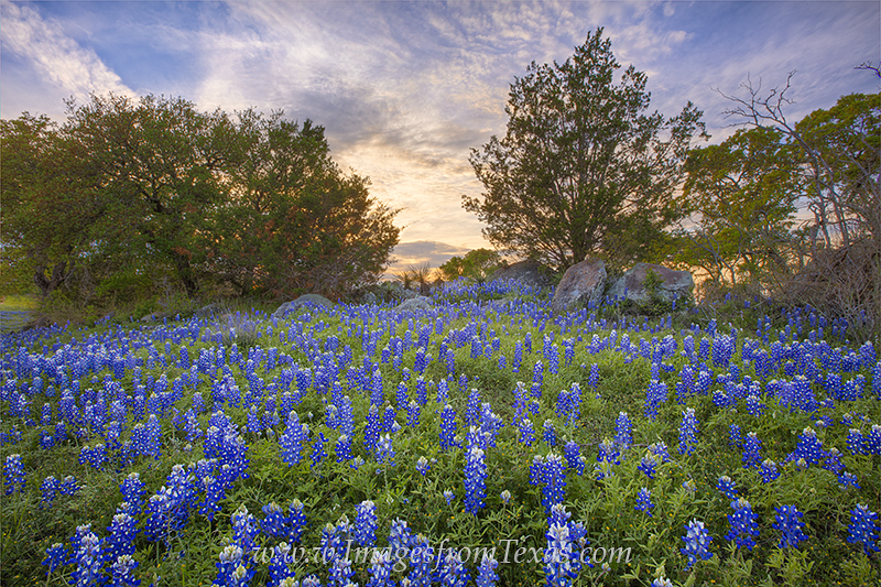 bluebonnets,bluebonnet pictures,texas bluebonnets,texas wildflowers,wildflower photos,texas hill country,texas landscapes,texas sunset, photo