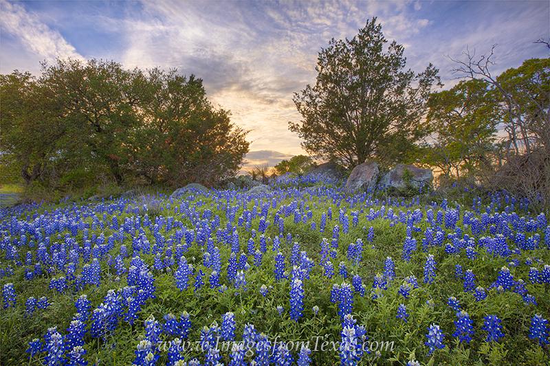 bluebonnets,bluebonnet pictures,texas bluebonnets,texas wildflowers,wildflower photos,texas hill country,texas landscapes,texas sunset, photo