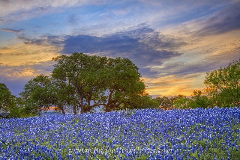 bluebonnet photos,texas wildflowers,texas sunset,bluebonnet prints,texas landscapes,texas hill country, photo