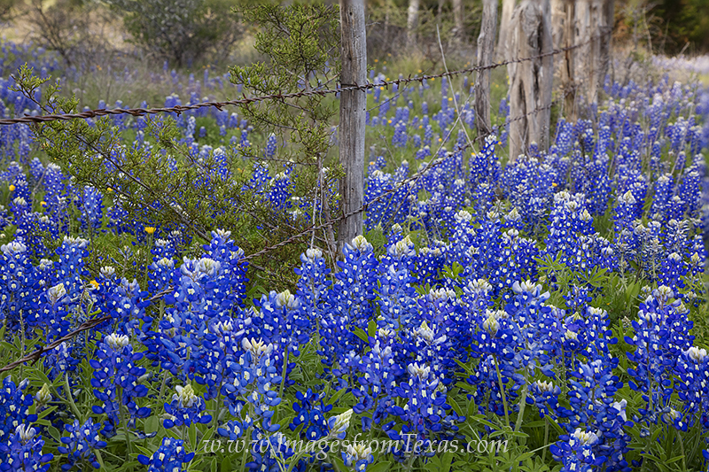 bluebonnets,bluebonnet images,wooden fence,barbed wire fence,texas scenes,texas images, photo