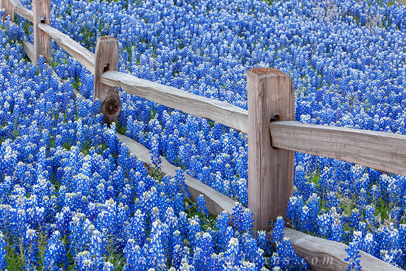 Bluebonnets Along A Wooden Fence 1 Texas Hill Country